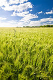 Field of crop Royalty Free Stock Photo