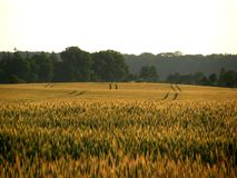 Field, Crop, Agriculture, Grass Family stock photography