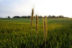 Field, Crop, Agriculture, Grass Family royalty free stock photo