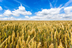 Field of crop and blue sky Royalty Free Stock Photography