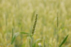Field, Crop, Food Grain, Grass Family stock photo
