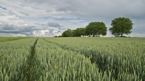 Field, Crop, Grass Family, Agriculture Stock Photos