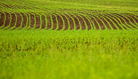 Field Crop Growing Furrows Royalty Free Stock Images