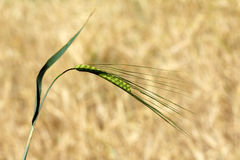In the field crop matures Royalty Free Stock Photo