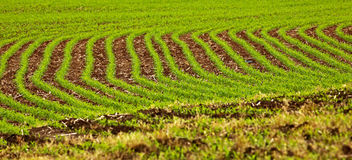 Field Crop Rows Green Stock Photo
