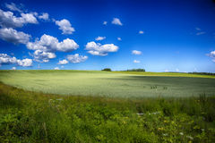 Field with a crop. In the summer under the light sky Royalty Free Stock Images