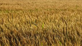 Field, Crop, Wheat, Food Grain stock images