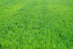 Field Crops Royalty Free Stock Photos