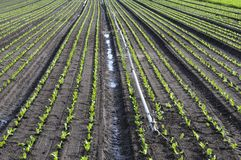 Field crops. And irrigation system Royalty Free Stock Photos