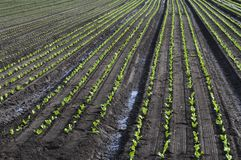 Field crops. In rows as an agricultural background Stock Photo
