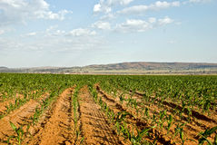 Field of crops. Image of maze crop field Stock Photo