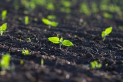 Field of crops become ripe under the sun Stock Photo