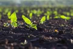 Field of crops become ripe under the sun Stock Photography