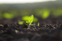 Field of crops become ripe under the sun royalty free stock photography