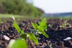 Field of crops become ripe under the sun Royalty Free Stock Images