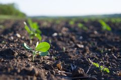 Field of crops become ripe under the sun Royalty Free Stock Photos
