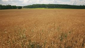 Field of crops growing on farm. In sweden stock video footage
