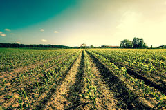 Field crops leading to a farm house Royalty Free Stock Photos