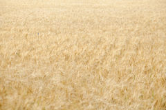 Field crops Royalty Free Stock Images