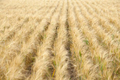Field crops Royalty Free Stock Image