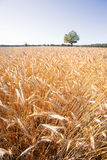 Field crops in a summer day Stock Photography