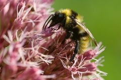 Field cuckoo bumblebee on pink flower stock images