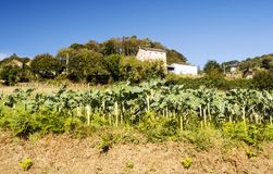 Field cultivated. In the north of Spain in a sunny day royalty free stock image