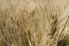 Field of cultivated wheat under the sun Royalty Free Stock Image