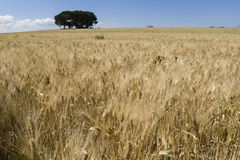 Field of cultivated wheat under the sun Royalty Free Stock Photos