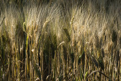 Field of cultivated wheat under the sun Stock Photos