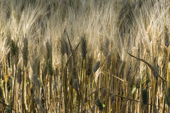 Field of cultivated wheat under the sun Royalty Free Stock Images