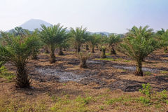 Field cultivation of tropical palm trees. In Thailand Royalty Free Stock Photos