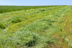 The field of cut grass. Stock Images