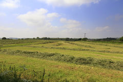 Field of cut grass for haymaking Royalty Free Stock Image