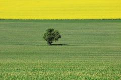 The Field d'orge verte et de colza jaune Image libre de droits
