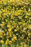 Field Daffodil Flowers Royalty Free Stock Photography