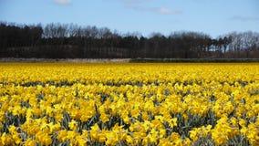 Field of daffodil flowers. Waving in the wind stock video
