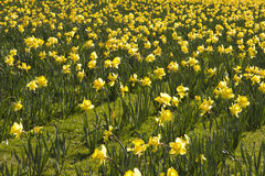 Field of daffodils. Field of yellow daffodils in Dublin park Royalty Free Stock Photos