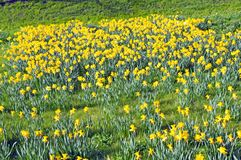 Field of daffodils Royalty Free Stock Photo