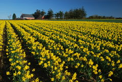 Field of daffodils Stock Image