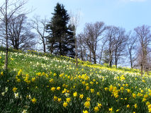 Field of daffodils. Field of blooming daffodils with trees and blue sky Stock Photo