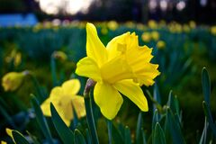 Field of Daffodils  Royalty Free Stock Images