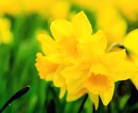 Field of daffodils Stock Photos