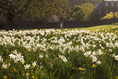 A Field of Daffodils. Stock Photography
