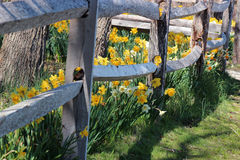 Field of daffodils and picket fence Royalty Free Stock Images