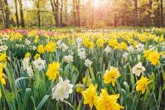 Field of daffodils Stock Photo