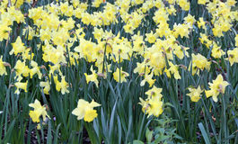 Field of daffs Stock Photography