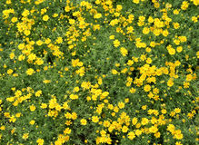 Field of Dahlberg daisy Royalty Free Stock Images
