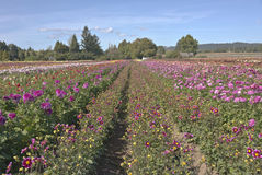 Field of Dahlia flowers in Canby Oregon. Stock Photos