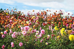 Field of dahlia flowers in full bloom displaying a rainbow of color. Dahlia flowers in red, orange, yellow and pink with green stems create a bright and Stock Photos